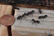 carpenter_ant2-u1800